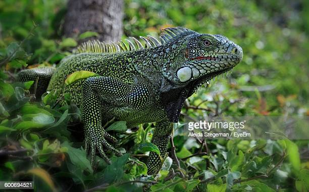Close-Up Of Green Iguana On Plant