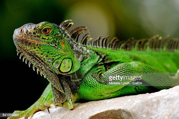 Close-Up Of Green Iguana On Rock