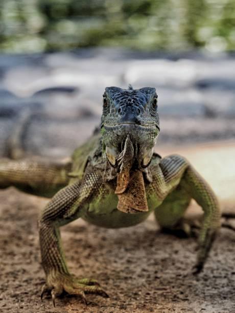 Close-up of green iguana on rock,El Salvador