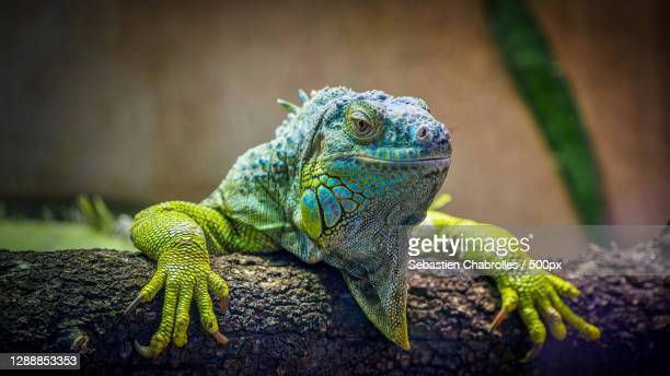 close-up of green iguana on tree trunk,avenue agropolis,montpellier,france - images stock pictures, royalty-free photos & images