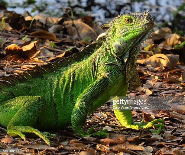 Close-Up Of Green Iguana