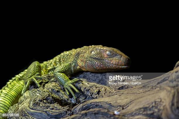 close-up of green iguana - chester zoo stock pictures, royalty-free photos & images