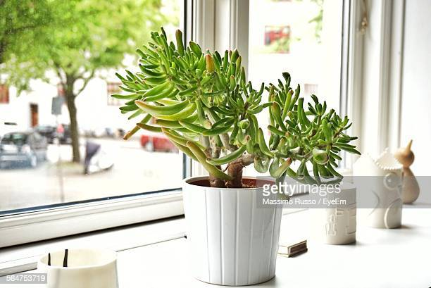 close-up of green jade plant in pot - money tree stock photos and pictures