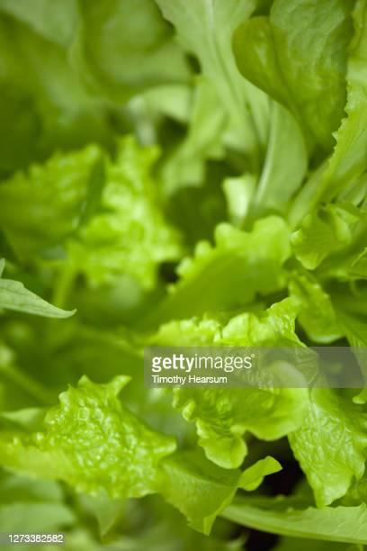 close-up of green leaf lettuce in a backyard garden - timothy hearsum bildbanksfoton och bilder