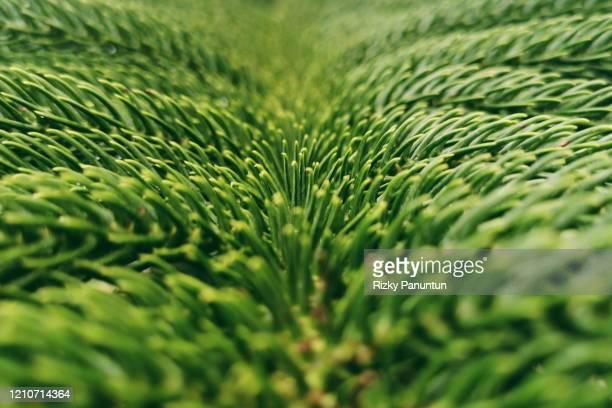 close-up of green leaf norfolk island pine (araucaria heterophylla) - makrofotografie stock-fotos und bilder