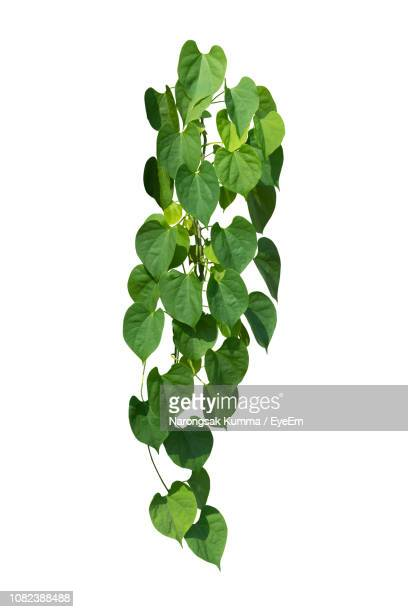 close-up of green leaves against white background - flora foto e immagini stock