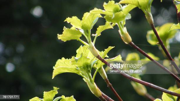 Close-Up Of Green Leaves On Branch