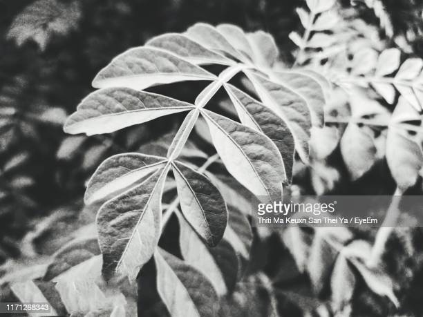 close-up of green leaves on plant - san stock pictures, royalty-free photos & images