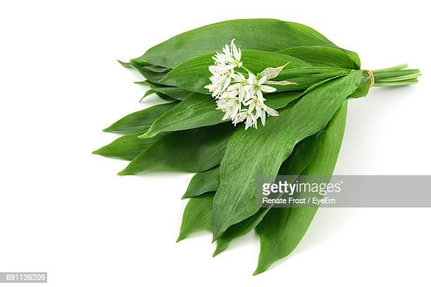 close-up of green leaves over white background - ail des ours photos et images de collection