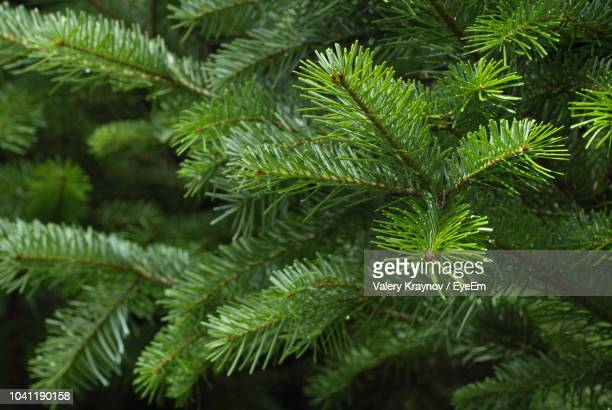 close-up of green leaves - pine tree stock pictures, royalty-free photos & images