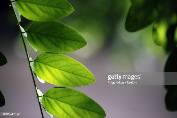 close-up of green leaves - tolga erbay stock photos and pictures