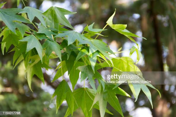 close-up of green leaves - gabriela stock pictures, royalty-free photos & images