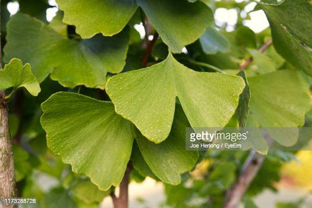 close-up of green leaves - ginkgo tree stock pictures, royalty-free photos & images