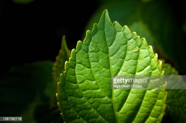 close-up of green leaves - nigel owen stock pictures, royalty-free photos & images