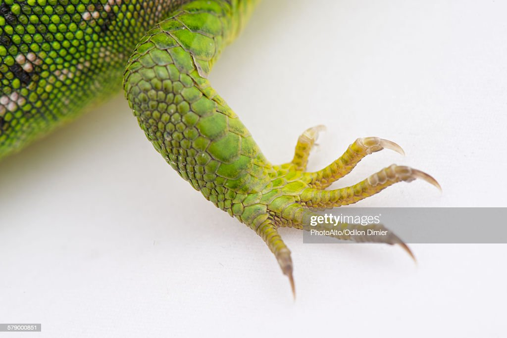 Close-up of green lizards claws : ストックフォト