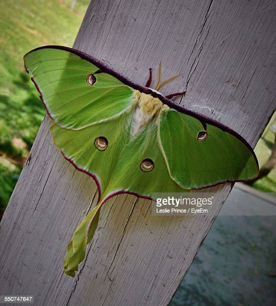 close-up of green moth on wood - luna moth stock pictures, royalty-free photos & images