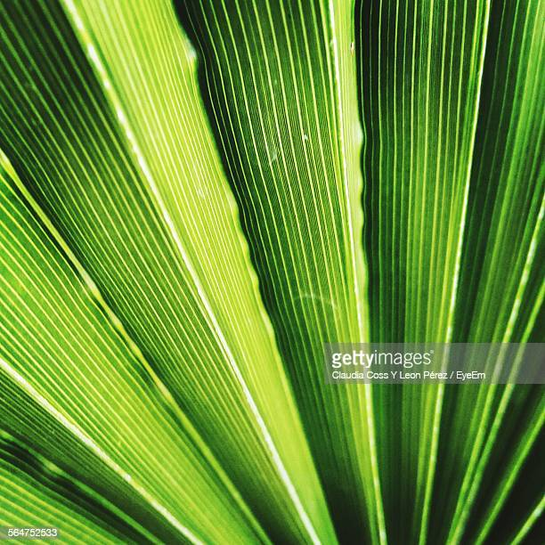 Close-Up Of Green Palm Leaf