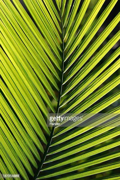 Branche de palmier
