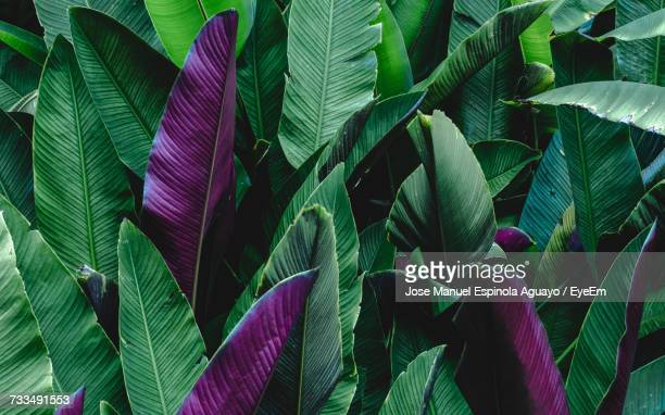 close-up of green plant - banana tree stock pictures, royalty-free photos & images