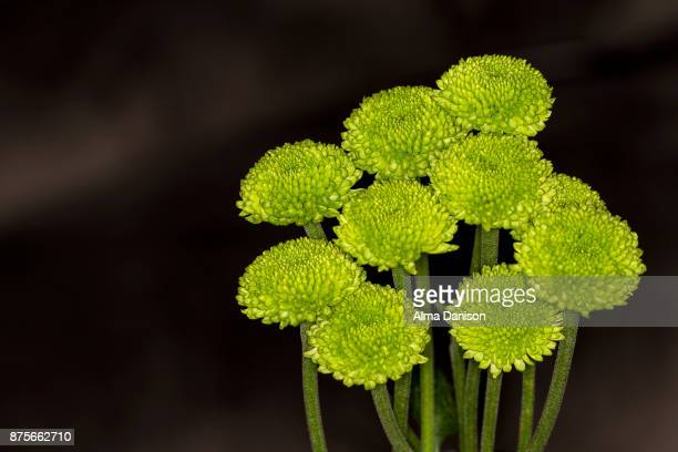 close-up of green pompon chrysanthemum flowers - alma danison imagens e fotografias de stock
