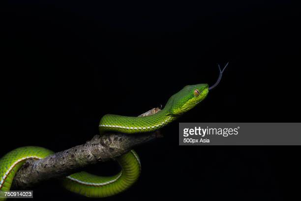 close-up of green snake on branch - image stock pictures, royalty-free photos & images