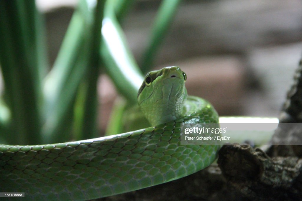 Close-Up Of Green Snake : Photo