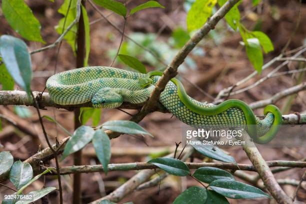 close-up of green snakes on tree - marek stefunko stock photos and pictures