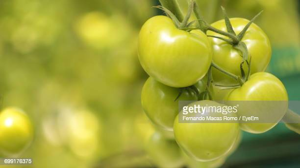 Close-Up Of Green Tomatoes