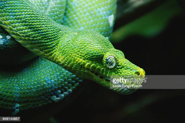 close-up of green tree python - reptile pattern stock pictures, royalty-free photos & images