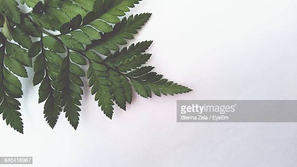 Close-Up Of Green Twig Against White Background