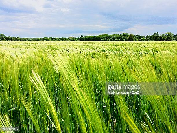 Close-Up Of Green Wheat Field Landscape