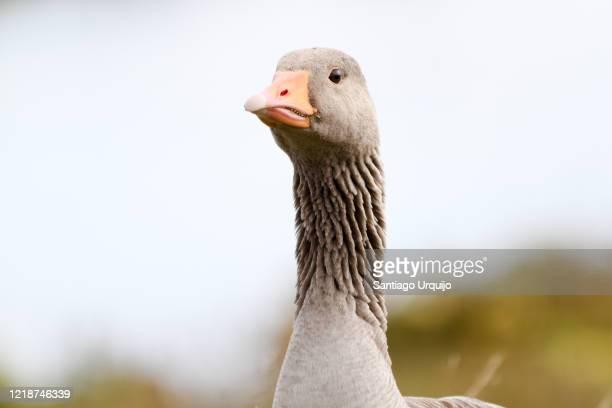 close-up of greylag goose - グレイグース ストックフォトと画像