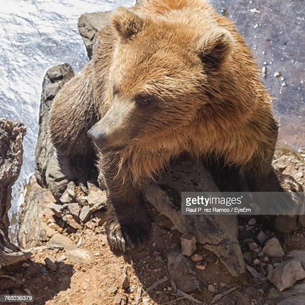 Close-Up Of Grizzly Bear On Rock At Shore