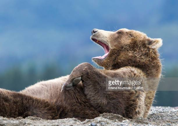 close-up of grizzly bear yawning - brown bear stock pictures, royalty-free photos & images