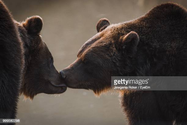 Close-Up Of Grizzly Bears