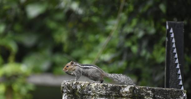 Close-up of ground flying squirrel on railing