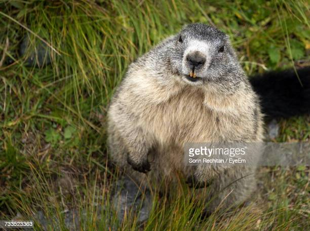 close-up of groundhog on grass - woodchuck stock pictures, royalty-free photos & images