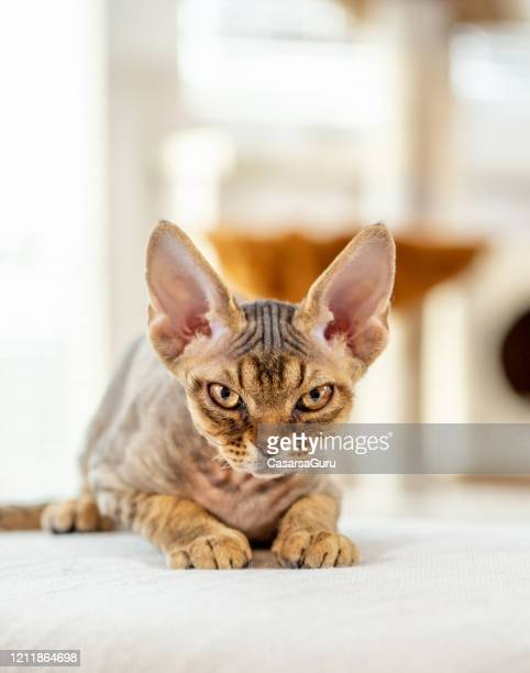 close-up of grumpy kitten staring at camera lying in brightly lit room - stock photo - shorthair cat stock pictures, royalty-free photos & images