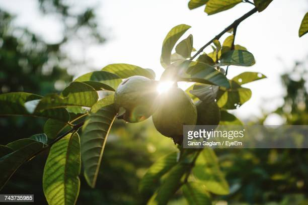 close-up of guava growing on tree - java stock pictures, royalty-free photos & images