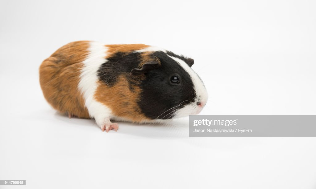 Close-Up Of Guinea Pig Against White Background : Stock Photo