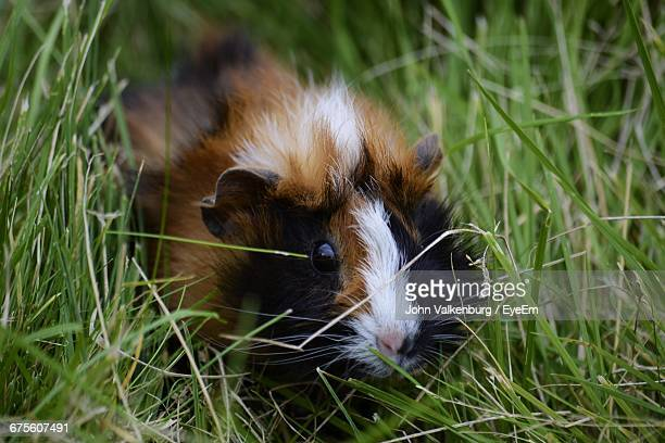 Close-Up Of Guinea Pig Amidst Grass