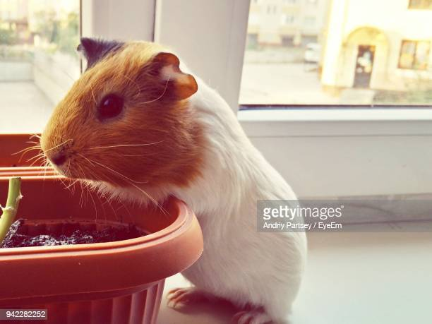 Close-Up Of Guinea Pig By Potted Plant On Window Sill
