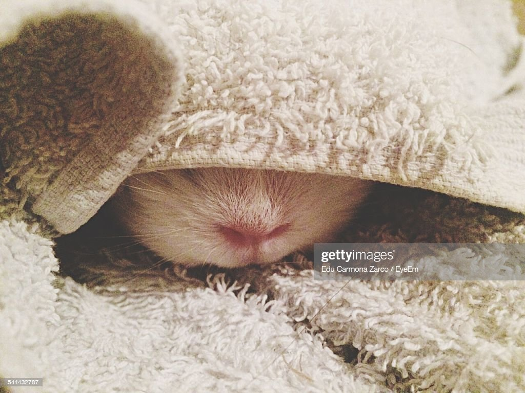 Close-Up Of Guinea Pig Hiding Under Rug