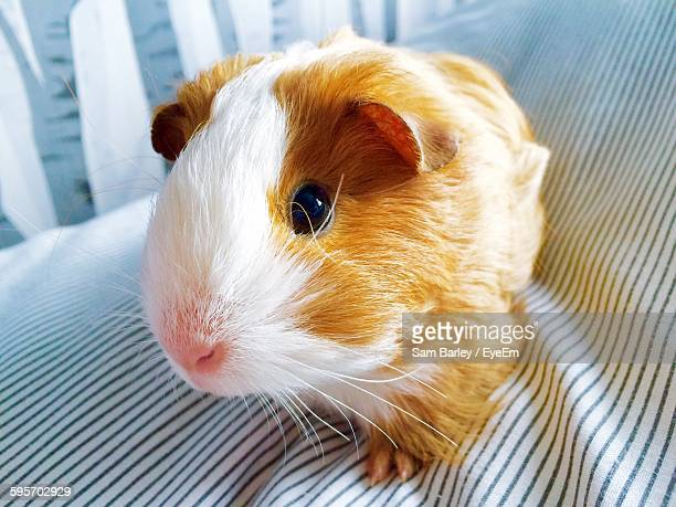 Close-Up Of Guinea Pig On Sofa