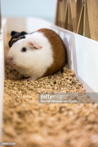 Close-Up Of Guinea Pig On Stones