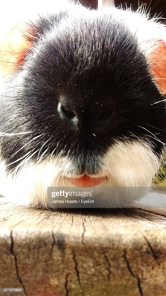 Close-Up Of Guinea Pig Outdoors