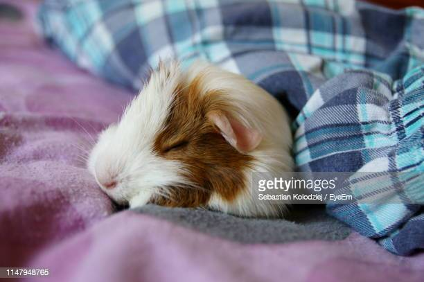 close-up of guinea pig sleeping on bed - guinea pig stock pictures, royalty-free photos & images