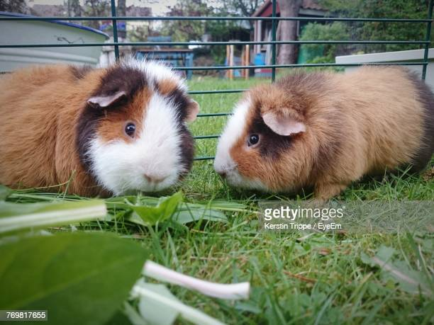 Close-Up Of Guinea Pigs On Grass