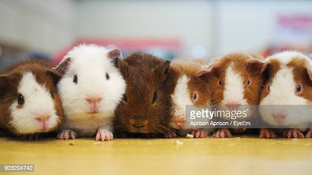 close-up of guinea pigs - guinea pig stock pictures, royalty-free photos & images
