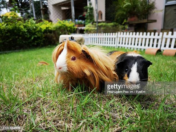 close-up of guinea pigs sitting on grassy land - guinea pig stock pictures, royalty-free photos & images